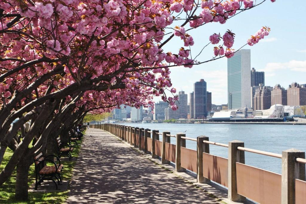 roosevelt-island-_promenade_and_cherry_blossoms-rioc__x_large